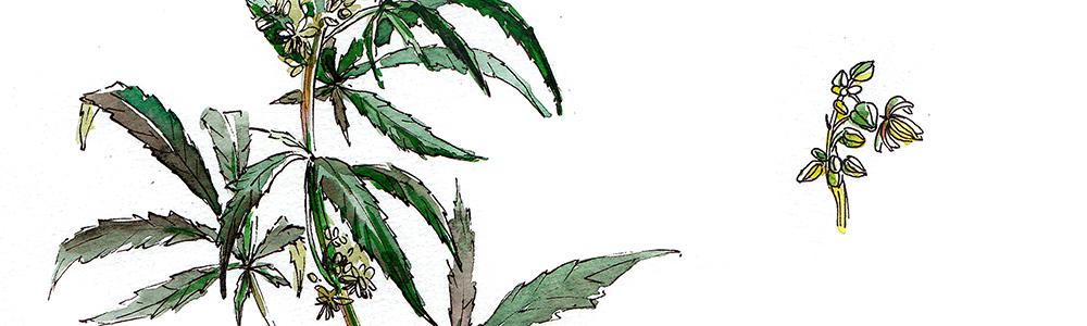 botanique-agronomie-chanvre-vegetool.jpg
