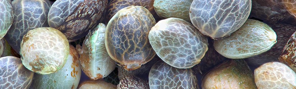 graines-chanvre-reine-prot%C3%A9ines-vegetool.jpg